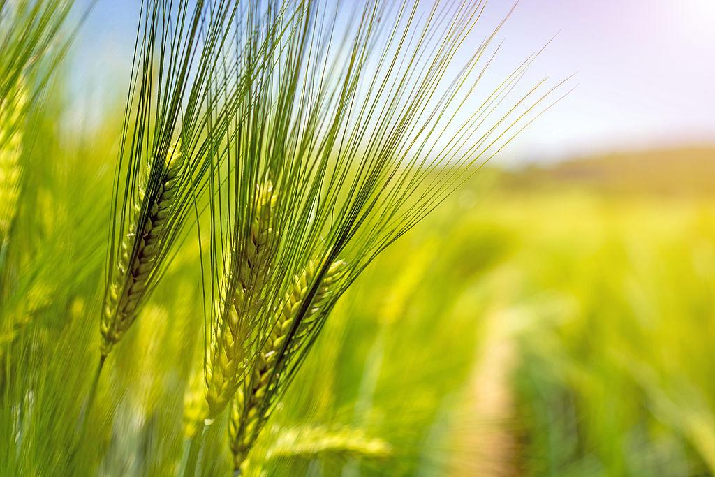 Getreide grüne Reife