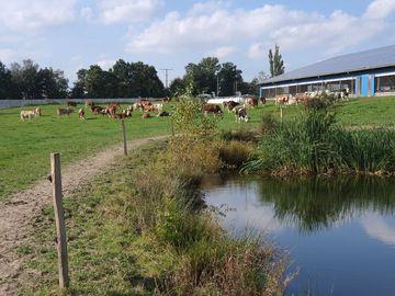 Kühe auf der Weide in Stallnähe