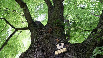 Blick von unten auf den Stamm und das Blätterdach einer mächtigen, unter Naturschutz stehenden, Sommerlinde