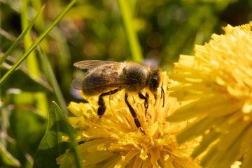 Biene auf Blüte, Foto: Alexander Schlotter/Saaleland-Photography, Kahla, 2020
