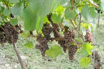 Weinbau in Kaatschen