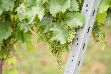 Besuch des Weingutes Zahn - Nahaufnahme einer Weinrebe mit Rankhilfe, mehrere grüne Trauben hängen an der Rebe
