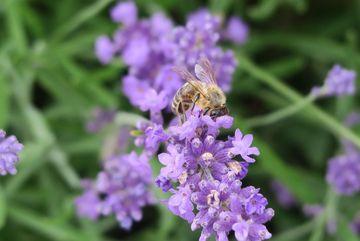 Honigbiene auf Blüte