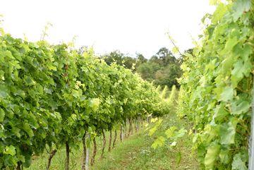 Besuch des Weingutes Zahn - Weinrebenreihe mit grünen Blättern auf leicht ansteigender Bodenfläche